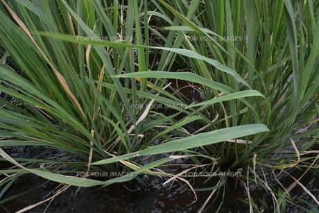 マコモダケ(真菰筍)栽培 ・ 黒穂菌の寄生で根本が肥大、それを食用。の写真素材 [FYI01210623]