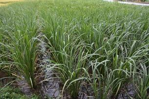 マコモダケ(真菰筍)栽培 ・ 黒穂菌の寄生で根本が肥大、それを食用。の写真素材 [FYI01210624]