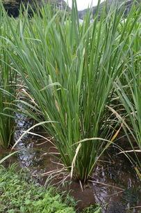 マコモダケ(真菰筍)栽培 ・ 黒穂菌の寄生で根本が肥大、それを食用。の写真素材 [FYI01210625]