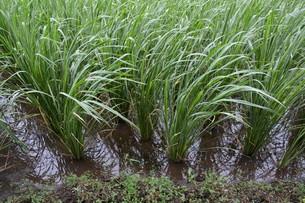 マコモダケ(真菰筍)栽培 ・ 黒穂菌の寄生で根本が肥大、それを食用。の写真素材 [FYI01210626]
