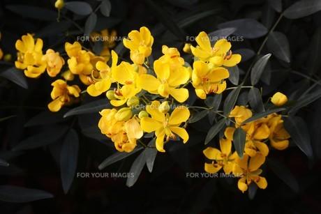 ハナセンナ ・ 別名アンデスの乙女 花後に細長い豆果。の写真素材 [FYI01210657]