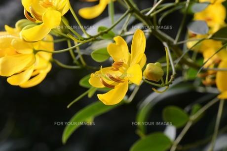 ハナセンナ ・ 別名アンデスの乙女 花後に細長い豆果。の写真素材 [FYI01210658]