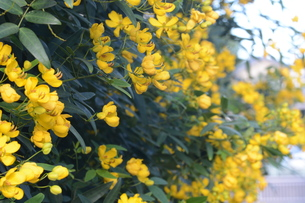 ハナセンナ ・ 別名アンデスの乙女 花後に細長い豆果。の写真素材 [FYI01210659]