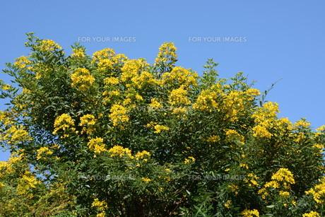 ハナセンナ ・ 別名アンデスの乙女 花後に細長い豆果。の写真素材 [FYI01210663]