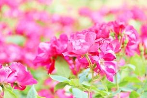 植物園に咲く美しいピンクのバラの写真素材 [FYI01210665]