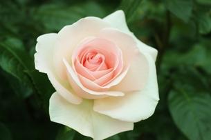 植物園に咲く美しいピンクのバラの写真素材 [FYI01210666]