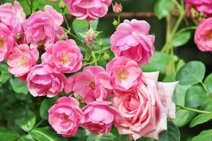 植物園に咲く美しいピンクのバラの写真素材 [FYI01210667]