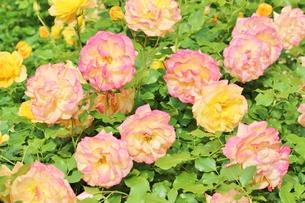植物園に咲く美しいピンクのバラの写真素材 [FYI01210671]