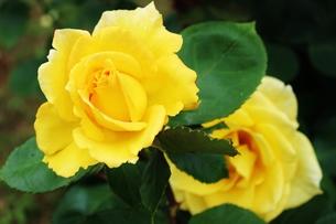 植物園に咲く美しいピンクのバラの写真素材 [FYI01210672]