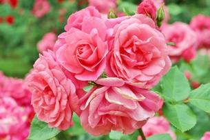 植物園に咲く美しいピンクのバラの写真素材 [FYI01210673]