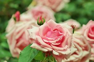 植物園に咲く美しいピンクのバラの写真素材 [FYI01210674]