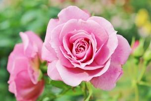 植物園に咲く美しいピンクのバラの写真素材 [FYI01210675]