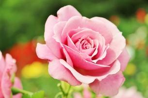 植物園に咲く美しいピンクのバラの写真素材 [FYI01210677]