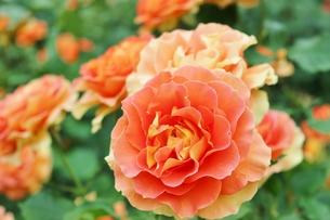 太陽のようなオレンジ色のバラの写真素材 [FYI01210678]