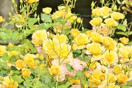 春の風に揺れる黄色いバラの写真素材 [FYI01210679]