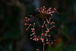 ハゼラン(爆欄) ・ 爆ぜるように咲くので爆欄、午後三時ごろ咲くので三時の貴公子。の写真素材 [FYI01210680]