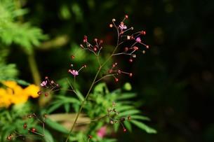 ハゼラン(爆欄) ・ 爆ぜるように咲くので爆欄、午後三時ごろ咲くので三時の貴公子。の写真素材 [FYI01210681]