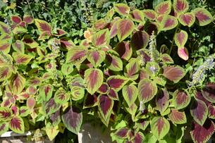 観葉植物 コリウス ・ 初夏から秋にかけて見頃になるジャワ原産のIndoor plants.の写真素材 [FYI01210685]