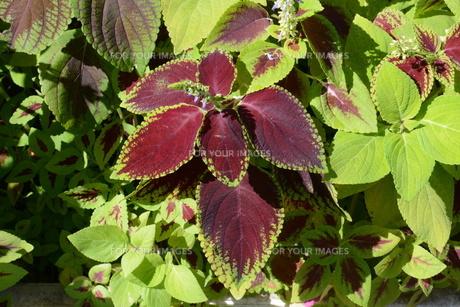 観葉植物 コリウス ・ 初夏から秋にかけて見頃になるジャワ原産のIndoor plants.の写真素材 [FYI01210686]