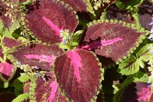 観葉植物 コリウス ・ 初夏から秋にかけて見頃になるジャワ原産のIndoor plants.の写真素材 [FYI01210689]