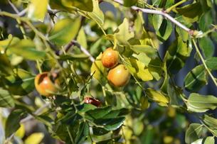 ナツメ ・ 食用 生薬 ,木は硬くて色艶があるので高級工芸品に利用。の写真素材 [FYI01210718]