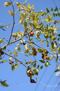 ナツメ ・ 食用 生薬 ,木は硬くて色艶があるので高級工芸品に利用。の写真素材 [FYI01210719]