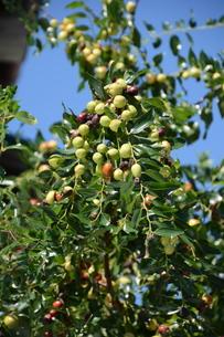 ナツメ ・ 食用 生薬 ,木は硬くて色艶があるので高級工芸品に利用。の写真素材 [FYI01210721]