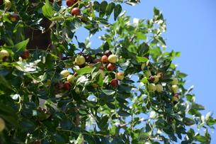 ナツメ ・ 食用 生薬 ,木は硬くて色艶があるので高級工芸品に利用。の写真素材 [FYI01210723]