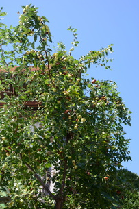 ナツメ ・ 食用 生薬 ,木は硬くて色艶があるので高級工芸品に利用。の写真素材 [FYI01210724]