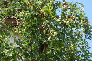 ナツメ ・ 食用 生薬 ,木は硬くて色艶があるので高級工芸品に利用。の写真素材 [FYI01210726]