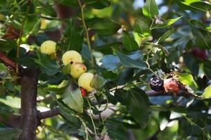 ナツメ ・ 食用 生薬 ,木は硬くて色艶があるので高級工芸品に利用。の写真素材 [FYI01210728]