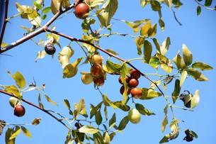 ナツメ ・ 食用 生薬 ,木は硬くて色艶があるので高級工芸品に利用。の写真素材 [FYI01210729]