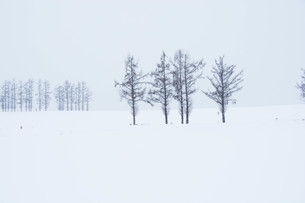 雪の丘のカラマツ並木 美瑛町の写真素材 [FYI01210735]