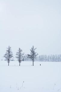 雪の丘のカラマツ並木 美瑛町の写真素材 [FYI01210736]