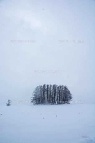 雪の丘の上のカラマツ林 美瑛町の写真素材 [FYI01210739]