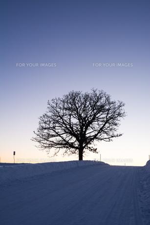 冬の夕暮れの丘に立つ冬木立 美瑛町の写真素材 [FYI01210758]