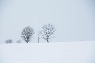 雪の丘の冬木立 美瑛町の写真素材 [FYI01210772]