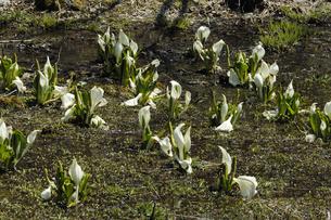 亀谷地湿原のミズバショウの写真素材 [FYI01210839]