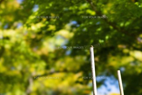 風景 秋 トンボ とんぼ 蜻 虫 昆虫 自然 緑 紅葉の写真素材 [FYI01210869]