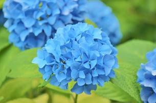 梅雨の晴れ間に咲く青い紫陽花の写真素材 [FYI01210903]