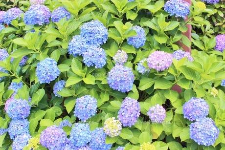 梅雨の晴れ間の青いあじさいの写真素材 [FYI01210910]