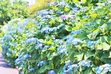 梅雨の晴れ間の青いあじさいの写真素材 [FYI01210911]