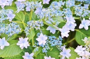 梅雨の晴れ間の青いガクアジサイの写真素材 [FYI01210912]