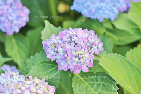 梅雨の晴れ間の紫色のあじさいの写真素材 [FYI01210913]