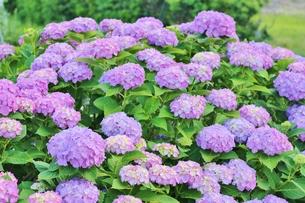 たんぼの真ん中に咲いていた青いあじさいの写真素材 [FYI01210915]