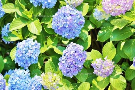 梅雨の晴れ間の青いあじさいの写真素材 [FYI01210920]