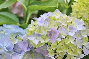 雨上がりの薄紫色のあじさいの写真素材 [FYI01210922]