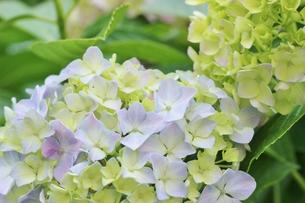 薄紫色の紫陽花の写真素材 [FYI01210926]