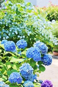 梅雨の晴れ間に輝く青いあじさいの写真素材 [FYI01210927]
