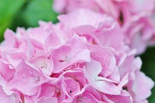 雨に濡れたピンク色のアジサイの写真素材 [FYI01210929]